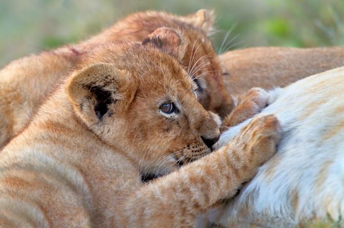 LIONNE ET PETITS capture shutterstock_155938319
